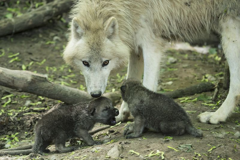 Wolf_01_TGS_Zupanc