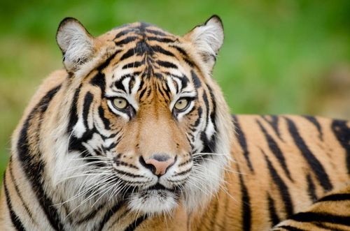 Point Defiance Zoo Sumatran Tiger Mom Jaya