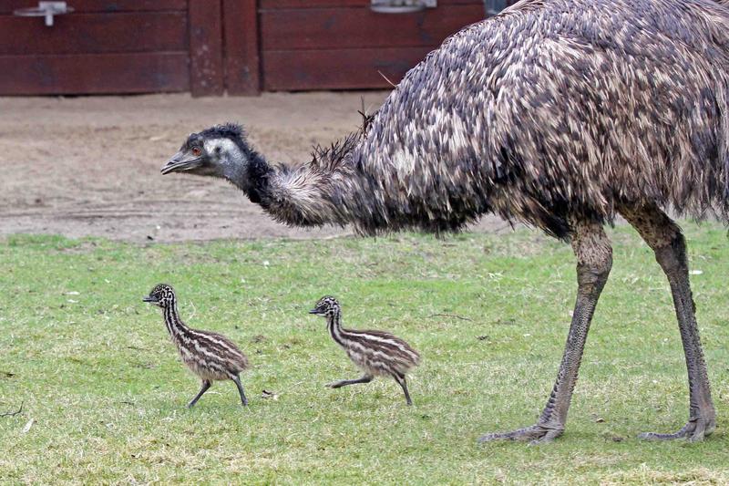 Emu dad