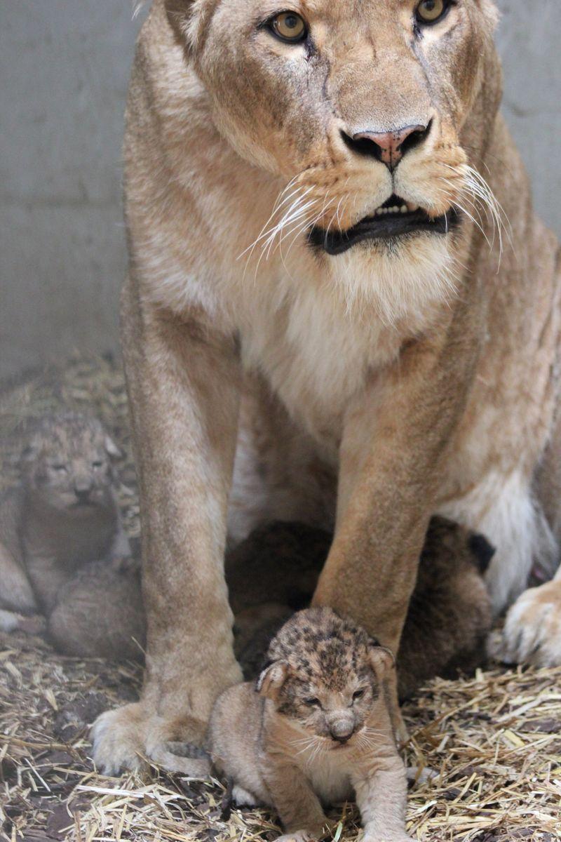 Lion mom guards