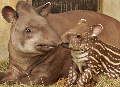 Tapir 1