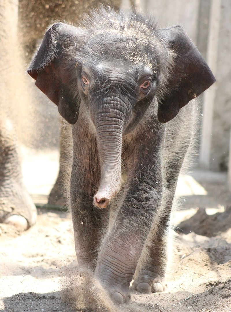 Elephant calf 4-29-13_(7)_Sarah Riffle Saint Louis Zoo_sm