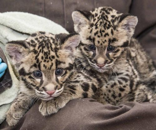 every day is play day for clouded leopard cubs zooborns