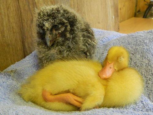 Duck both asleep