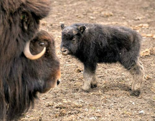 N White Rhino Musk Ox Baby Welcomed ...