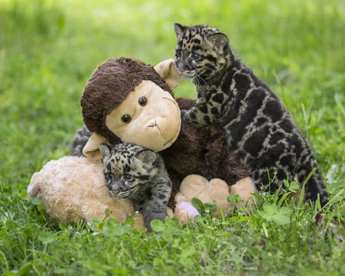 Update Little Clouded Leopards Now Big Enough To Play Zooborns