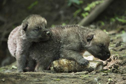 Wolf_07_TGS_Zupanc