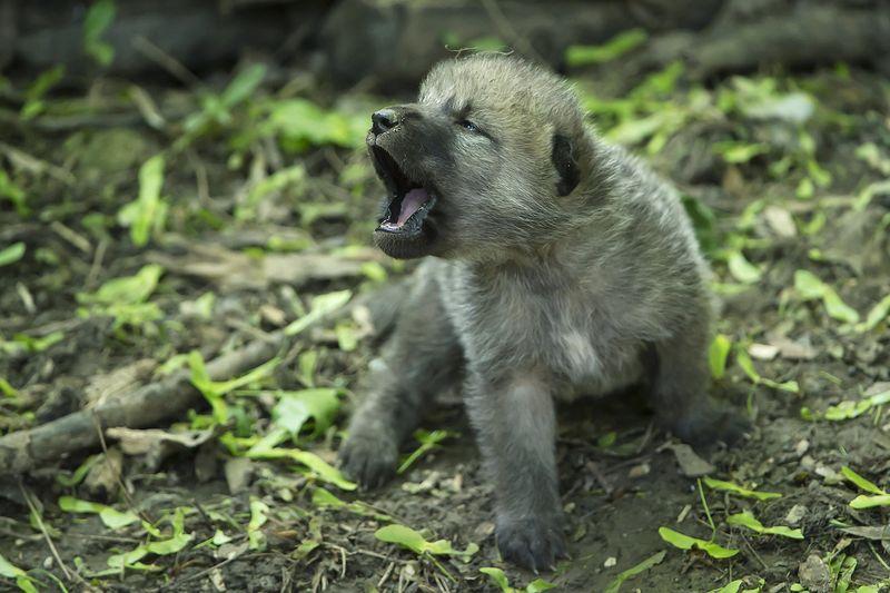 Wolf_09_TGS_Zupanc