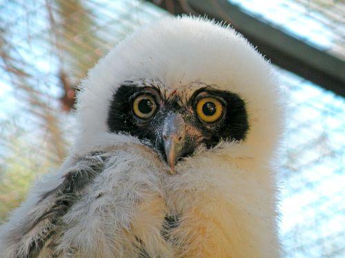 Phoenix Owl 2