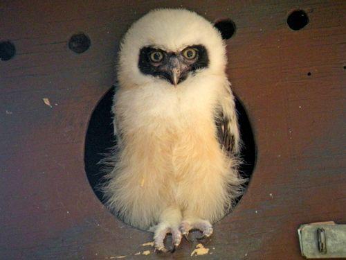 Phoenix Owl 5