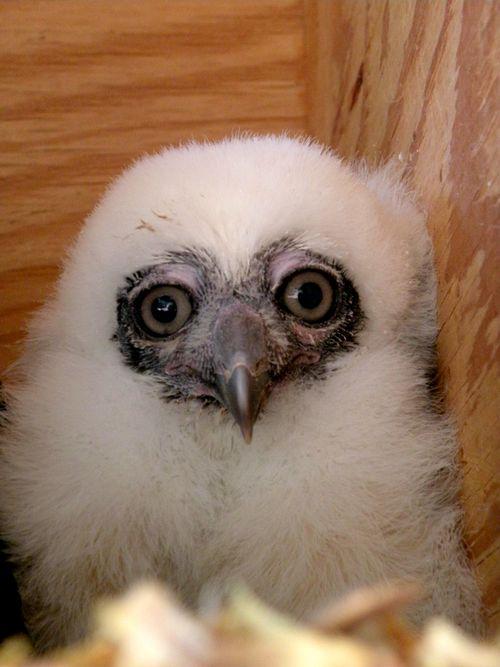 Phoenix Owl 8
