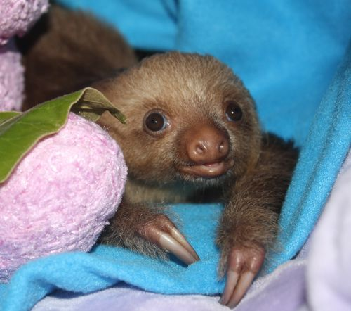 Baby Sloth from Sloth Sanctuary 2.jpg