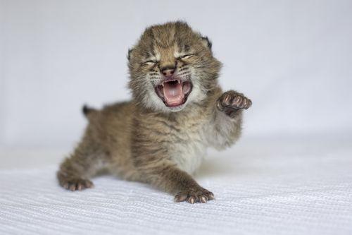 Lynx Cub 13 - Amiee Stubbs
