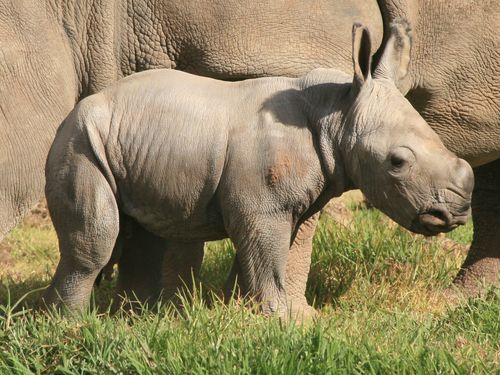 White Rhino Calf_15.5.13_credit Leonie Saville_thumb for online