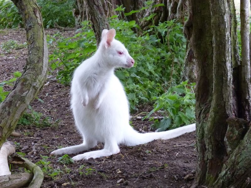 Albino Red Necked wallaby 18.05.19 (1)