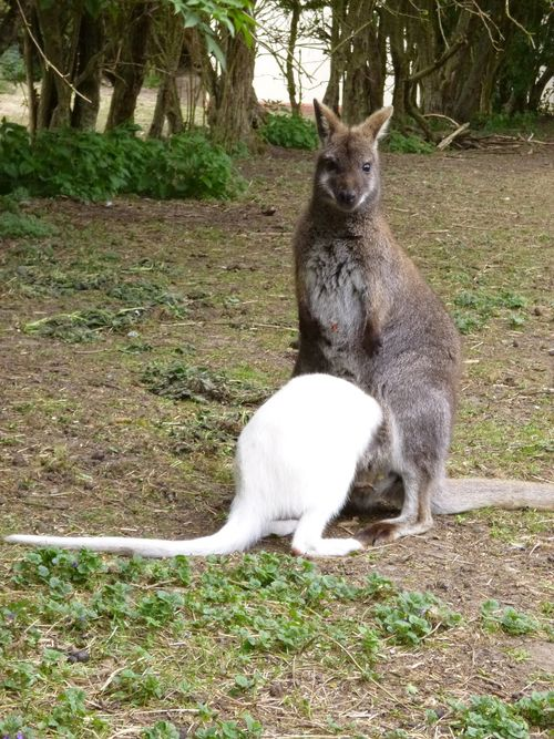 Albino Red Necked Wallaby joey with mum Kylie 10.05.13 (8)