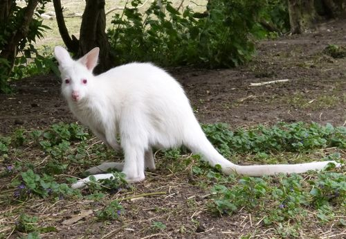 Albino Red Necked Wallaby joey with mum Kylie 10.05.13 (6)