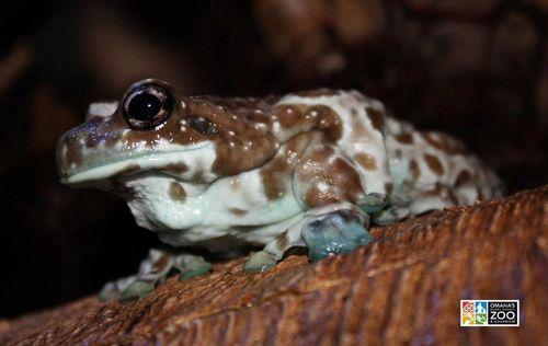 Milky Tree Frog_Adult Stage2