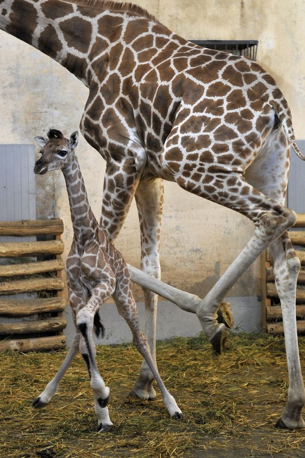 Got Legs There S A New Baby Giraffe At Budapest Zoo