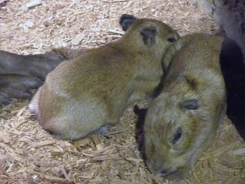 CleMetZoo capybara baby 5