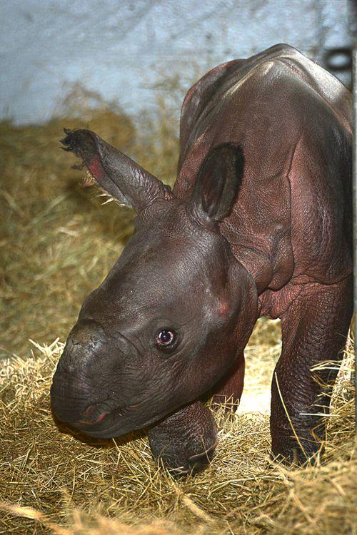 Indian rhino Jiyu (1)