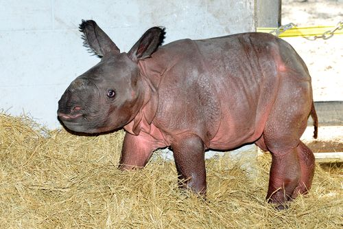 Indian rhino Jiyu (8)