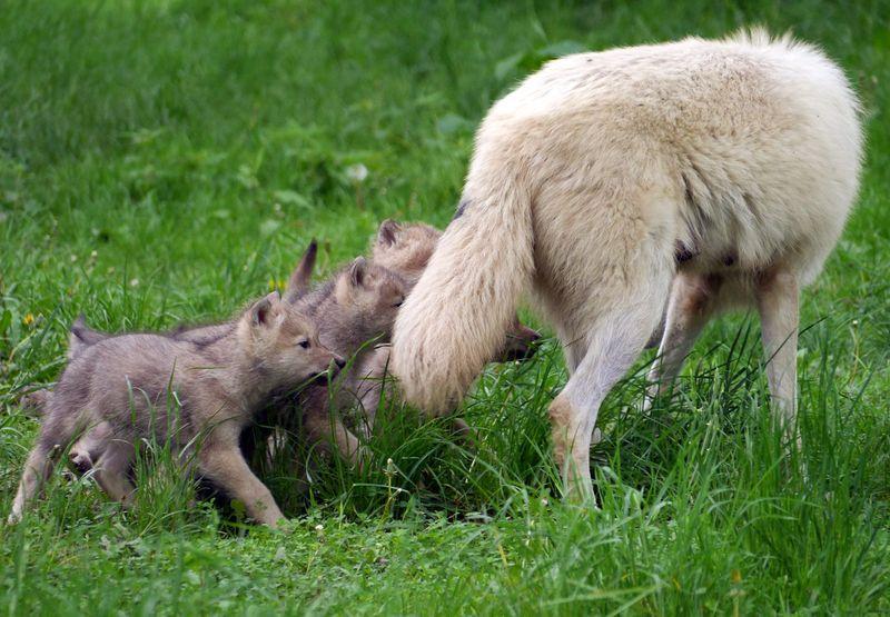 Pups to nurse