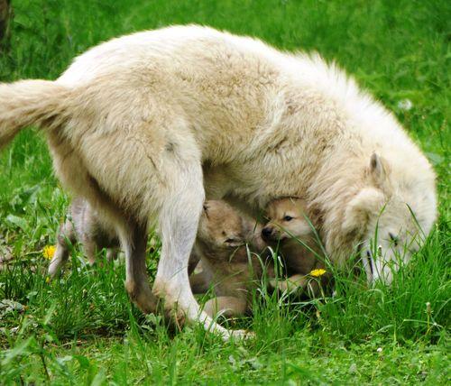 Pup nurse 3 under