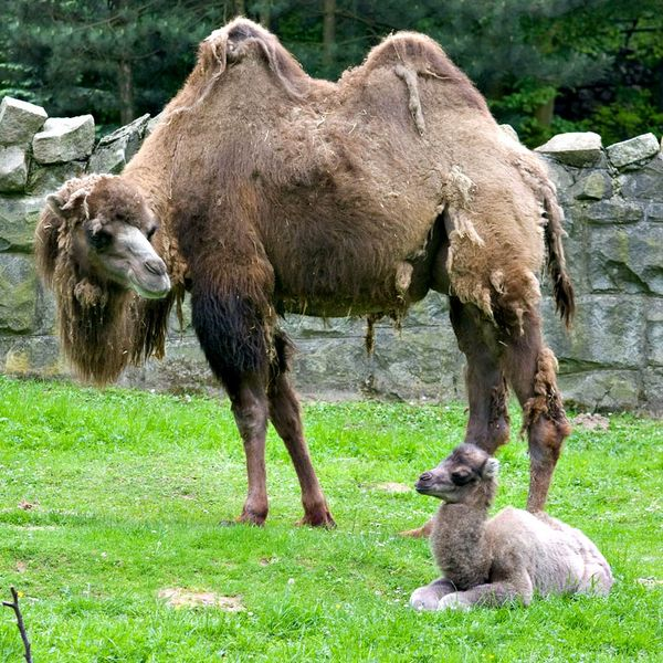 fluffy baby camel comes to krakow zoo zooborns