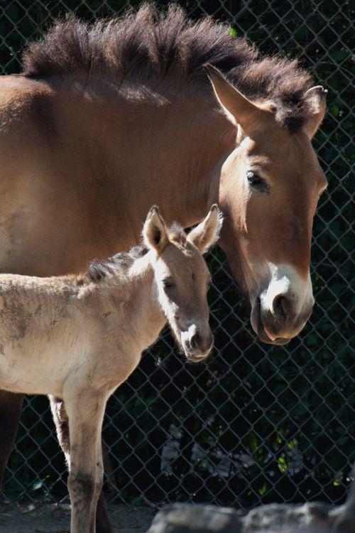 Foal CU 1