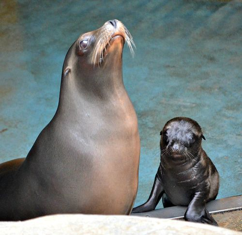 Sea lion pup at SPZ (Kelli O'Brien) (1)