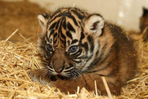 Tiger aww