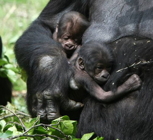 photo credit burgers zoo keepers knew that n gayla was pregnant but ...