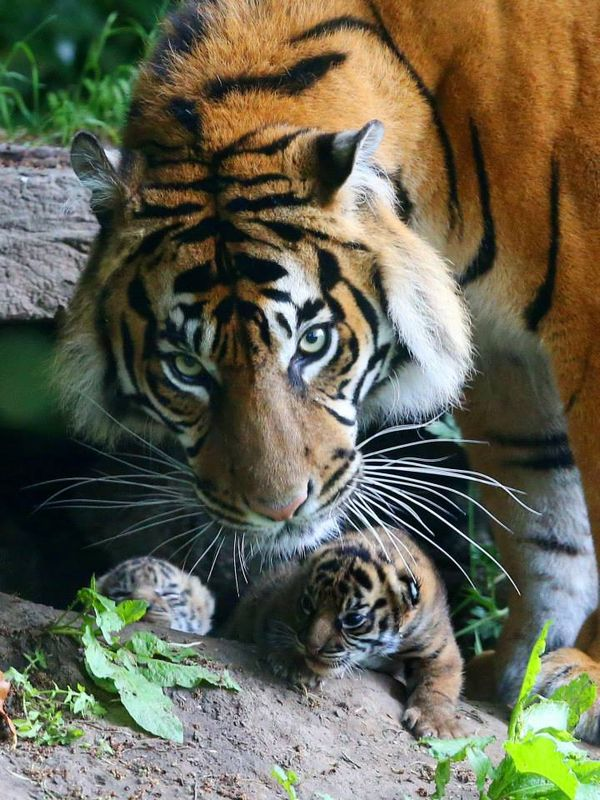 Tiger Twins' Birth Caught on Camera at Chester Zoo