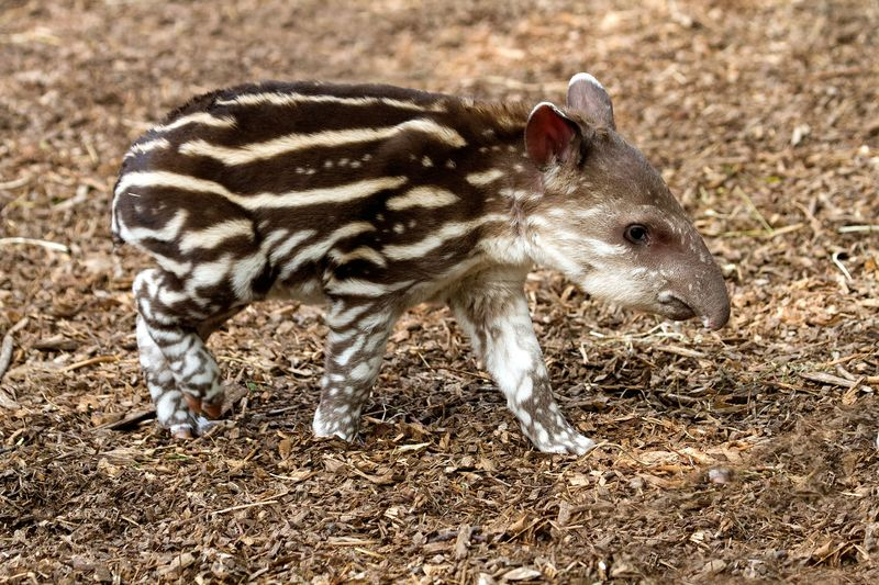 2013 05 PZ young tapir by Ray Wiltshire