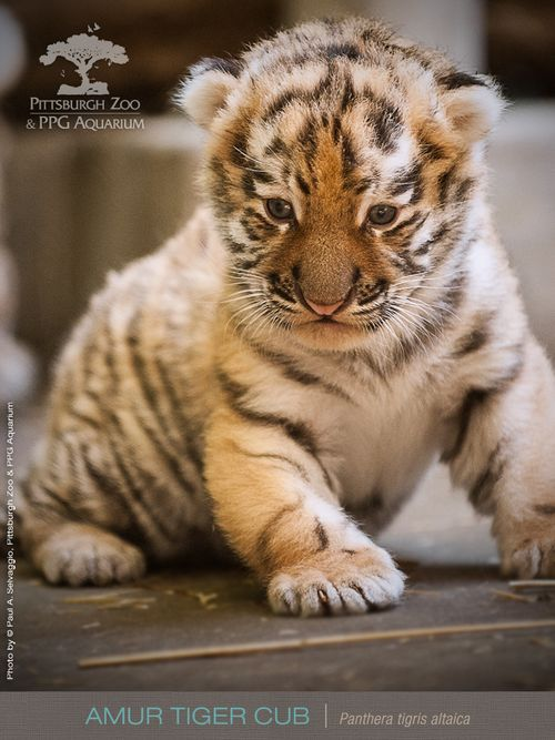 Amur Tigers Also Known As Siberian Are The Largest Of Six Subspecies Males Can Reach A Full Body Length Well Over Feet And