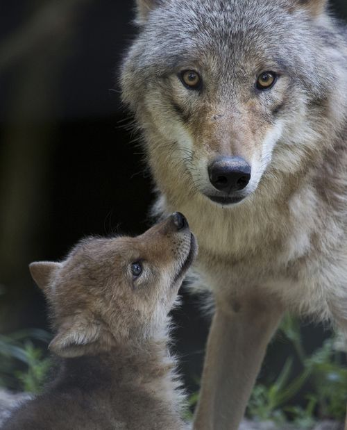 Wolf n mom