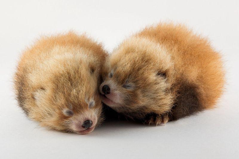 Red pandas 1