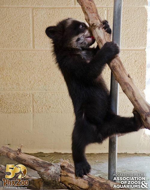 Phoenix-Zoo---by-Joseph-Becker---Andean-bear-cub---04
