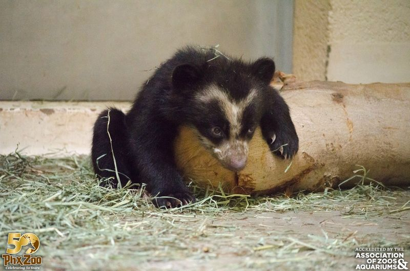 Phoenix-Zoo---by-Joseph-Becker---Andean-bear-cub---06