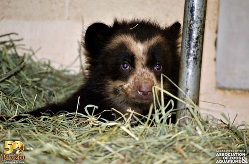 Phoenix-Zoo---by-Joseph-Becker---Andean-bear-cub---07