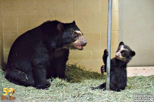 Phoenix-Zoo---by-Joseph-Becker---Andean-bear-cub---09