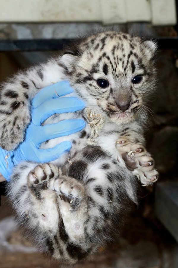 Snow Leopard Cubs are Boost for Endangered Species