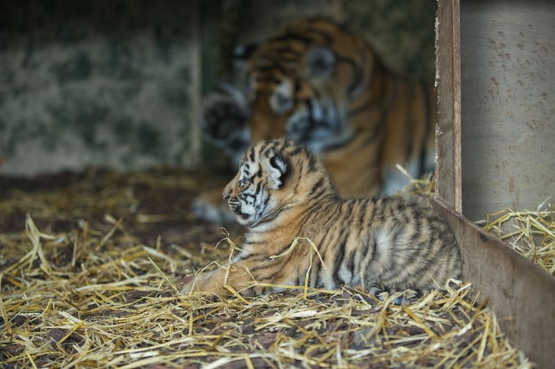 Tiger_Cubs1_Alex_Riddell