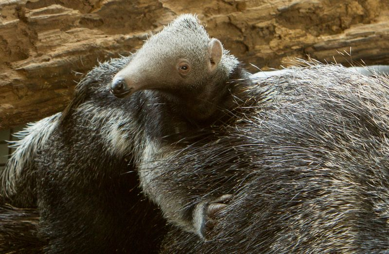 Baby giant anteater at Howletts 1 c Dave Rolfe