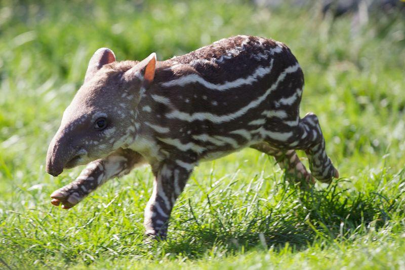 1 tapir