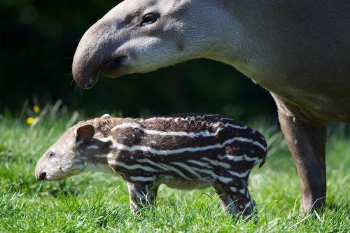 6 tapir