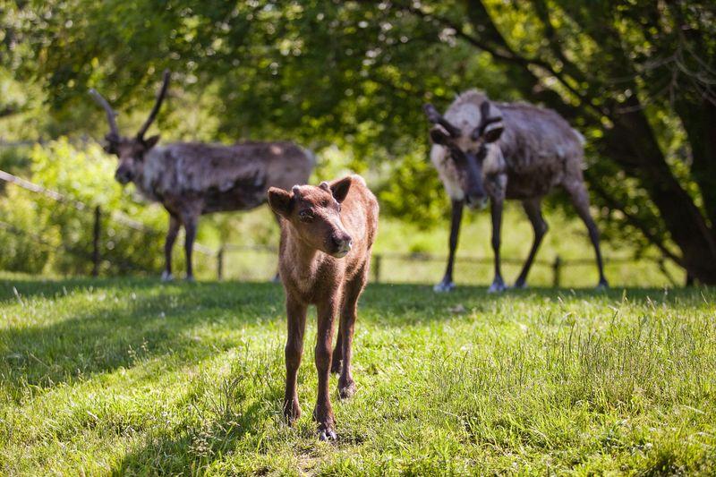 Deer lawn