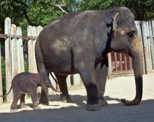 Fort Worth Zoo Elephant Calf_2
