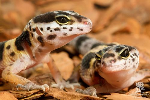 20130710_122818_leopard_gecko_Foto_Carlos_Nader
